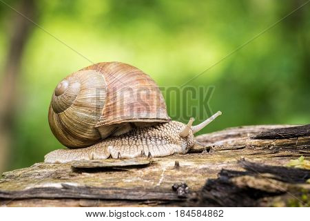 Close up shot of snail - Helix pomatia - with green blurred background