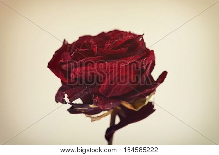 One Red Dried Rose