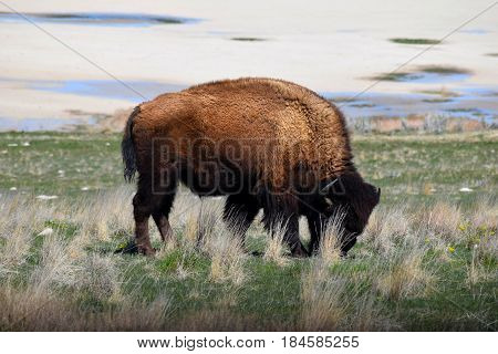 Photo of American bison Antelope Island in Utah