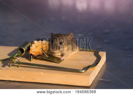 hopelessness concept cute house grey mouse or rat small rodent animal sitting at string mousetrap with bait indoors on blurred background. marketing and crisis freedom