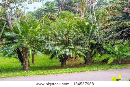 The Green Cycads