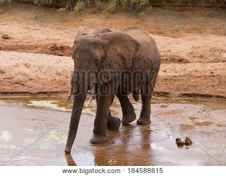 Baby elephant walks along the Savannah. Kenya