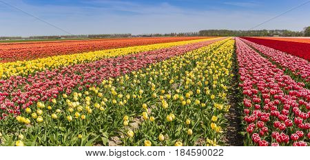 Panorama Of A Colorful Tulips Field In Flevoland