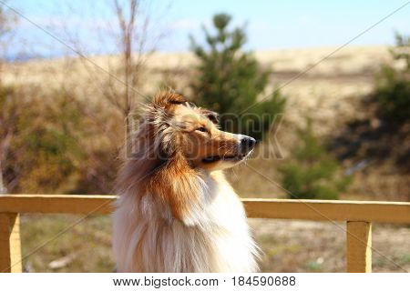 young collie waiting for his master near the fence