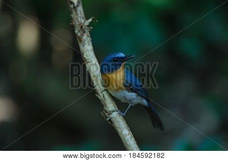 Hill Blue Flycatcher On A Branch(
