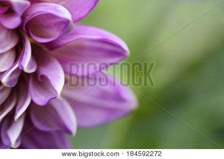 Petals of Pink Dahlia Flower in Spring