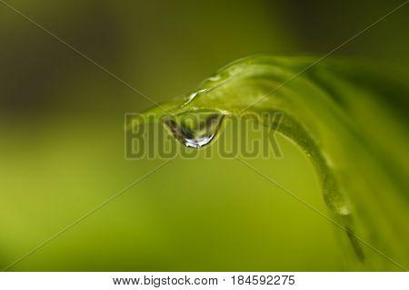 Dew Drop on Tip of Hosta Plant Leaf