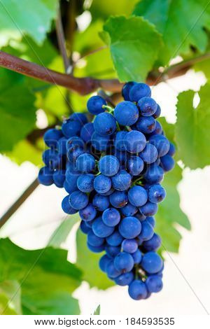 Blue Grapes ready to harvest made by a vintner in an established winery. Famous vineyards in Italy, Tuscany. Making of delicious red wine.