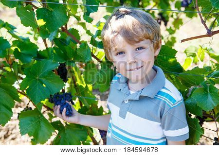 Smiling happy blond kid boy eating ripe blue grapes on grapevine background. Child helping with harvest. Italy, vineyard near in Tuscany