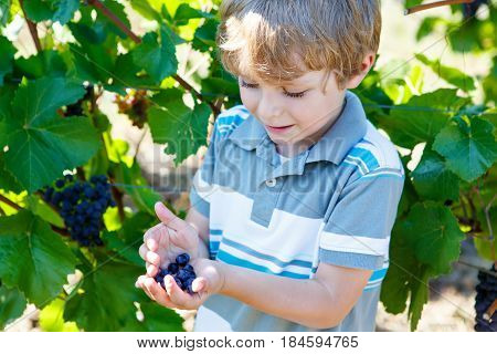 Smiling happy blond kid boy eating ripe blue grapes on grapevine background. Child helping with harvest. France, famous vineyards