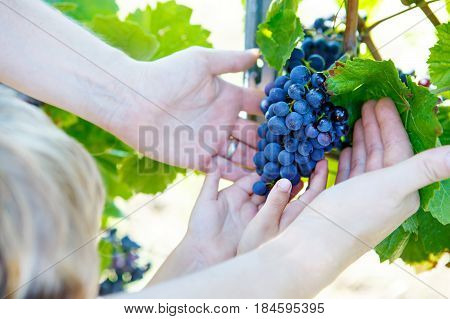 Kid and adult, hands of father and son with blue grapes ready to harvest in an established winery. Kid helping with harvest. Germany, vineyard near Mosel and Rhine