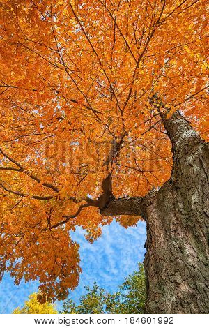 Upward view of a large maple tree with bright orange and yellow autumn leaves