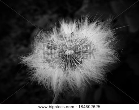Photography revealing the fragility of a dandelion flower