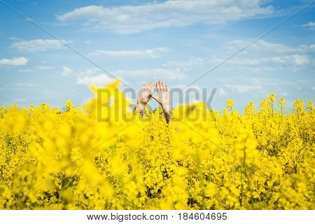 Arms of a man between rapeseed flower field