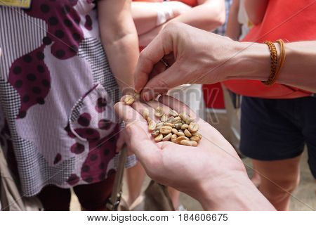 The expert shows not fried and not washed excrement of grains of coffee