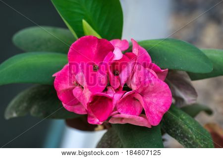 Pink Crown of Thorns flower with its green leaf