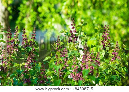 Lilac bush in spring time young purple flower twigs vibrant green foliage background forest tranquility purity concept