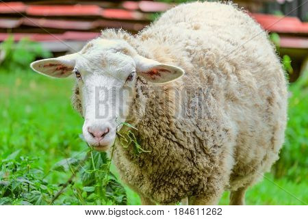 Adult large sheep eats green bush in the pasture. Agricultural scene with limited depth of field.