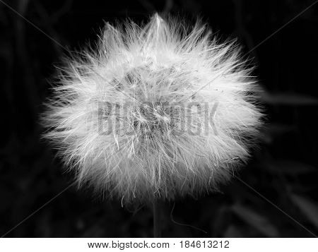 Photograph showing the fragility of a dandelion flower