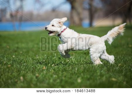 happy labradoodle dog running outdoors in summer