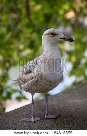 Seagull standing by the river Tiber in Rome Italy