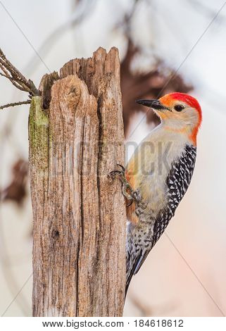 Red-bellied woodpecker on an old fence post