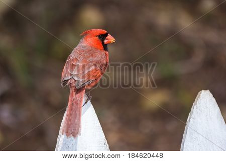 Red Northern Cardinal perched on a white picket fence