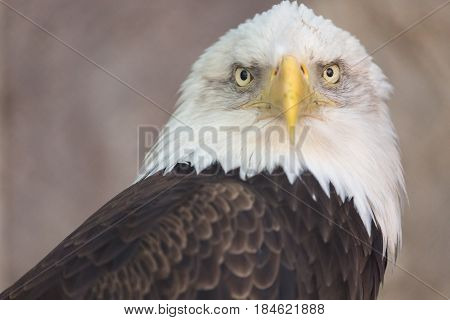 Portrait of a bald eagle. America national symbol. Latin name haliaeetus leucocephalus.