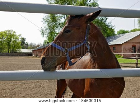 Portrait of a brown running horse on a farm in sunny day. The brown horse stand at the stables. Horse close-up