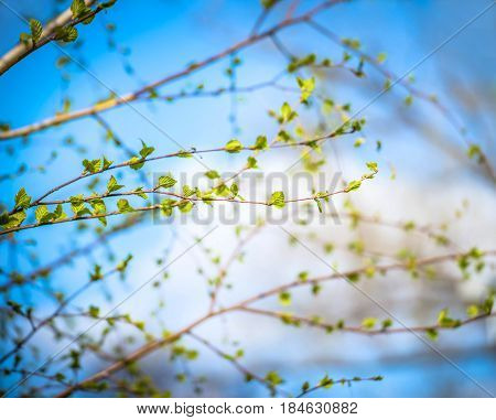 Beautiful background of new, fresh birch leaves on branch, blue sky with white clouds. Green leaves of birch tree in spring. Spring natural background with young birch leaves.