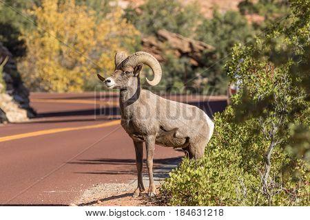 a desert bighorn sheep ram crossing a road in Zion National Park Utah