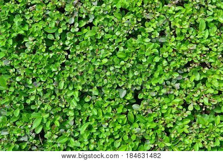 buxus plant green fence texture nature pattern