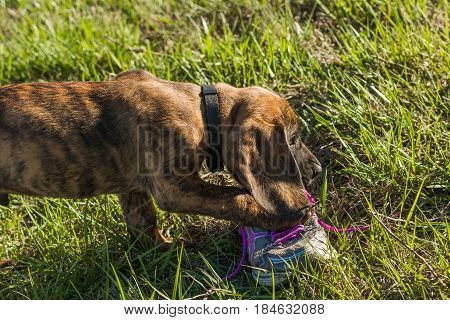 Puppy chewing on a shoe in a grassy yard