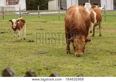 Calf dairy cow and bull on the pasture fenced with wood fence