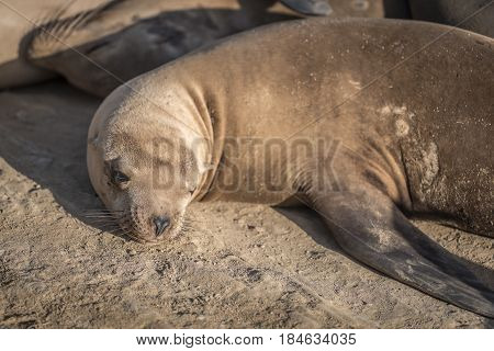 California Sea Lion (Zalophus californianus) sunning on the rocks in La Jolla California, USA