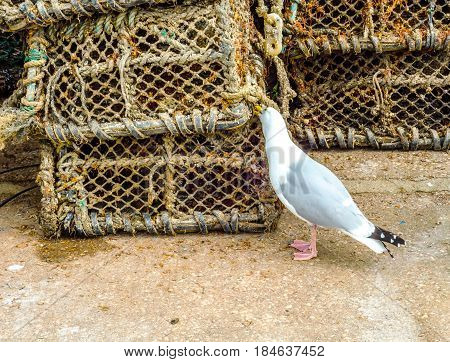 Seagull looking for food next to fishing lobster baskets and crabs layered on it fishing industry fishing lines seaside town