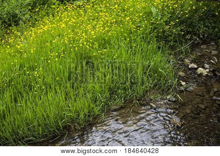 close-up green grass and many buttercup flowers at the river bank