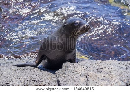 One Sea Lion Pup Coming Out of the Ocean to Sun Himself on the Lava Rock