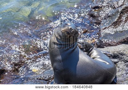 Playful Sea Lion Pup Sunning Himself on Top of Rocks