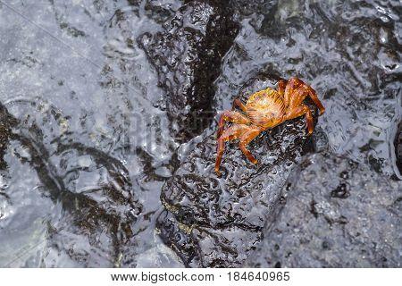 Sally Lightfoot Crab on Galapagos Islands Ecuador