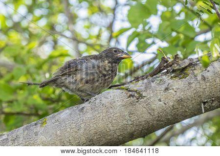 A Darwin's Finch Sitting on a Big Tree Branch Near Tortuga Bay in Santa Cruz, Galapagos Islands