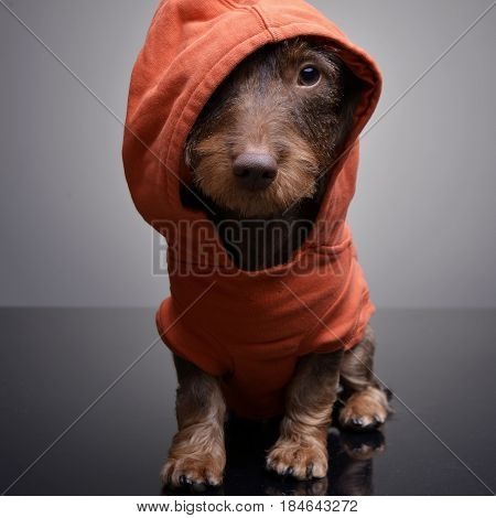 A Cute Dachshund Puppy Wearing Orange Clothes