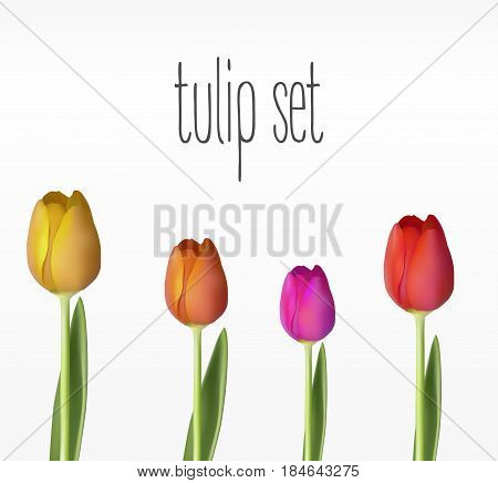 Realistic vector tulips set. The blank for your design.