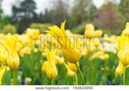 Raindrops on a Flower. Close-up of a Tulip (Tulipa) on a rainy Day. Raindrops on a yellow Tulip. A Field full of yellow Flowers. Garden Flowers
