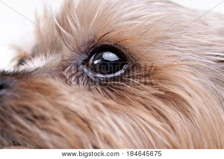 Close Shot Of A Cute Yorkshire Terrier's Eye