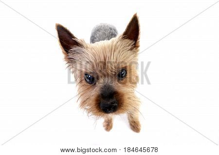 Wide Angle Portrait Of A Cute Yorkshire Terrier