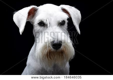 Portrait Of A Cute Miniature Schnauzer