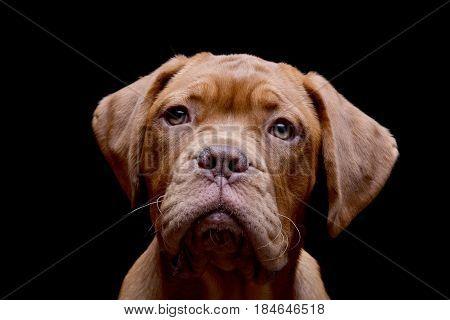 Portrait Of An Adorable Dogue De Bordeaux