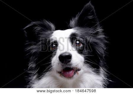 Portrait Of An Adorable Border Collie