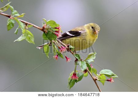 A female American goldfinch (Carduelis tristis) perching on flowering branches in spring
